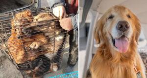 Sweetest Senior Golden Saved From Dog Meat Festival